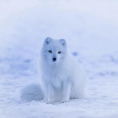 """Μια αληθινή λευκή αρκτική Αλεπού! Το ζωάκι εμφανίζεται στο προσωποποιημένο παιδικό βιβλίο """"Πού σε πάει το όνομά σου;"""" στην περίπτωση που ο ήρωας ή ηρωίδα έχει στο όνομά του/της το γράμμα Α"""