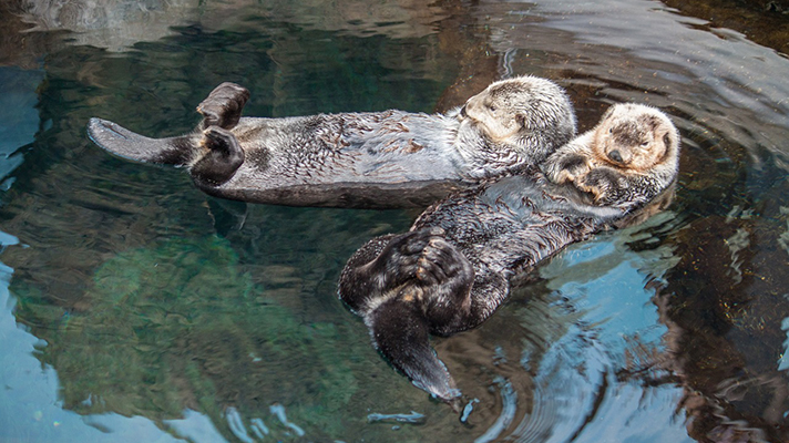 """Δύο αληθινές Βίδρες χαλαρώνουν μέσα στο νερό! Το ζωάκι εμφανίζεται στο προσωποποιημένο παιδικό βιβλίο """"Πού σε πάει το όνομά σου;"""" στην περίπτωση που ο ήρωας ή ηρωίδα έχει στο όνομά του/της το γράμμα Β"""