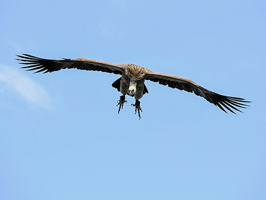 """Ένας Γύπας στον αέρα με διάπλατα φτερά. Το ζωάκι εμφανίζεται στο προσωποποιημένο παραμύθι """"Πού σε πάει το όνομά σου;"""" στην περίπτωση που ο ήρωας ή ηρωίδα έχει στο όνομά του/της το γράμμα Γ"""