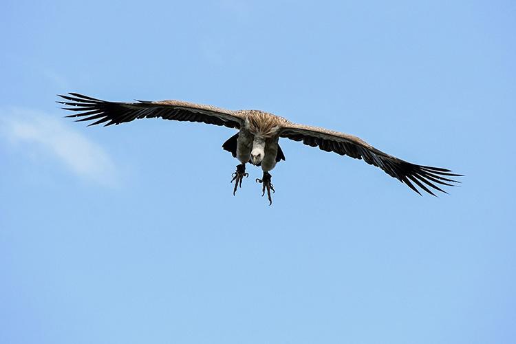 Ένας Γύπας στον αέρα με διάπλατα φτερά. Το ζωάκι εμφανίζεται στο προσωποποιημένο παραμύθι