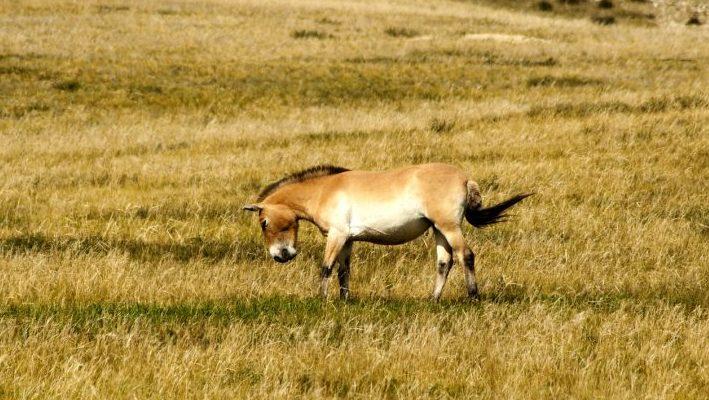 """Η εικόνα δείχνει ένα άλογο Przewalski. Το Άλογο είναι ένα από τα πολλά ζώα που μπορεί να συναντήσει ένα παιδί στο μαγικό ταξίδι που περιγράφεται στο προσωποποιημένο παραμύθι """"Πού σε πάει το όνομά σου;"""""""
